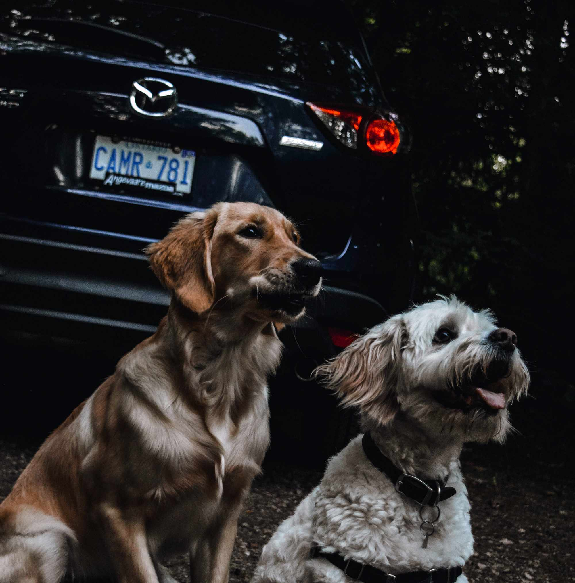 Two pet dogs sit in front of a Mazda CX-5.